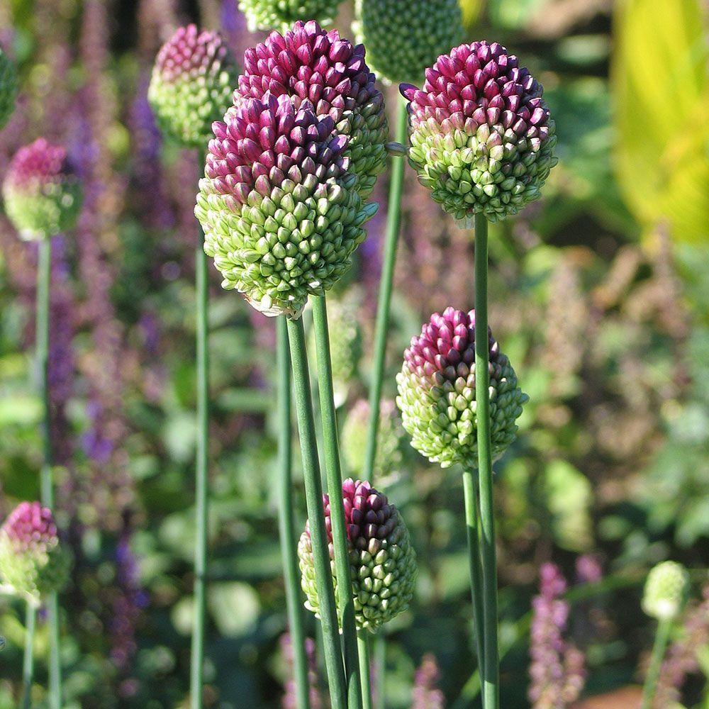 Allium Sphaerocephalon White Flower Farm Allium Sphaerocephalon White Flower Farm Allium