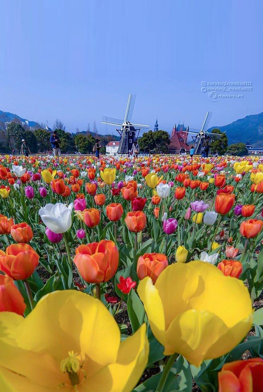 گل لاله Flowers Trees To Plant Love Garden Flowers Photography