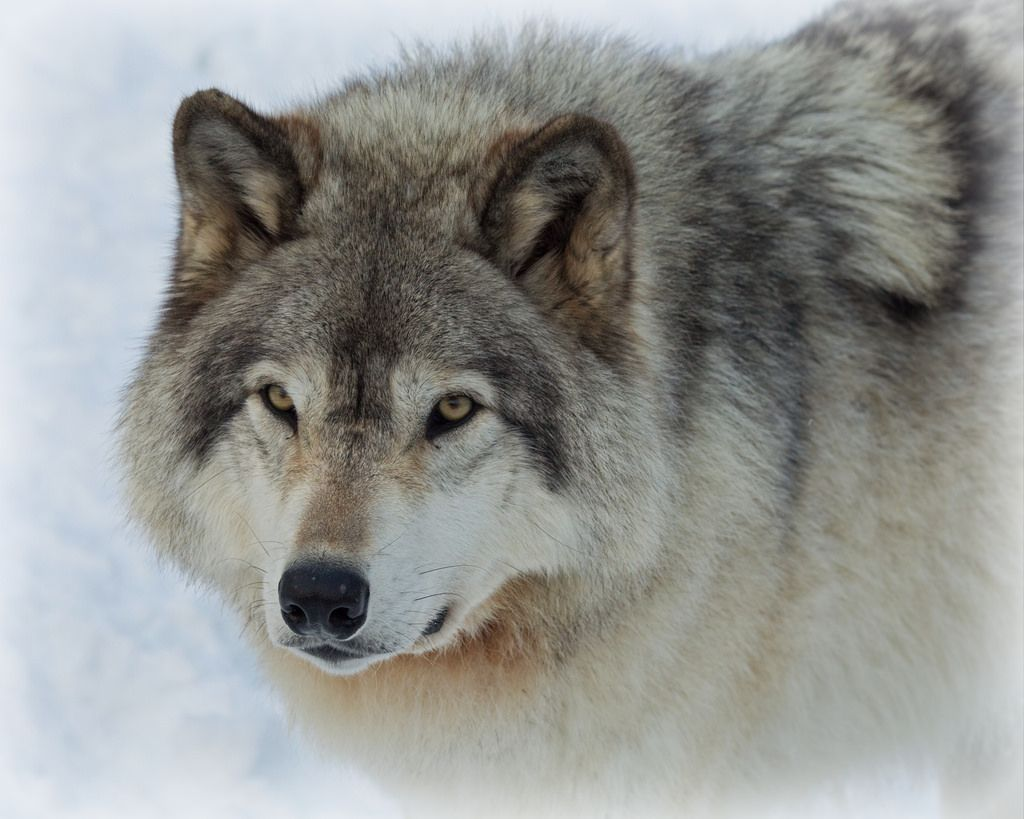 Loup Gris Gray Wolfe Canis Lupus Canis Lupus Canis Pet Birds