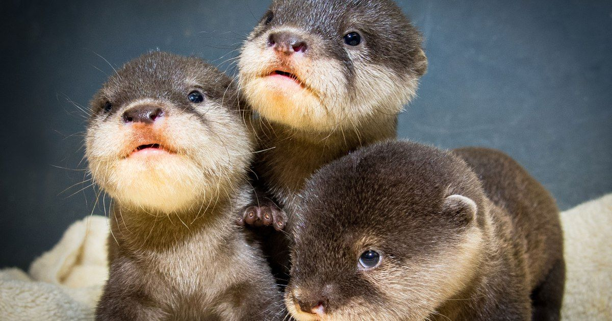Watch Otter Ly Adorable Trio Of Babies Make Debut Appearance In