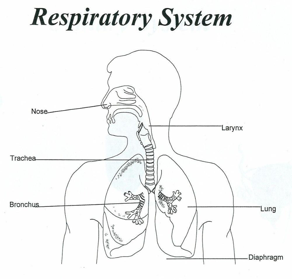Respiratory System Unlabeled Human Human Respiratory System Respiratory System Respiratory System Anatomy