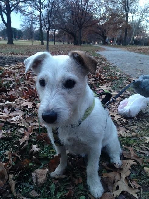 Meet Kava, a Petfinder adoptable Jack Russell Terrier Dog | Saint Louis, MO | Kava is a small (15lbs.) female Jack Russell terrier.  She was bornin February of 2003, so is 12...