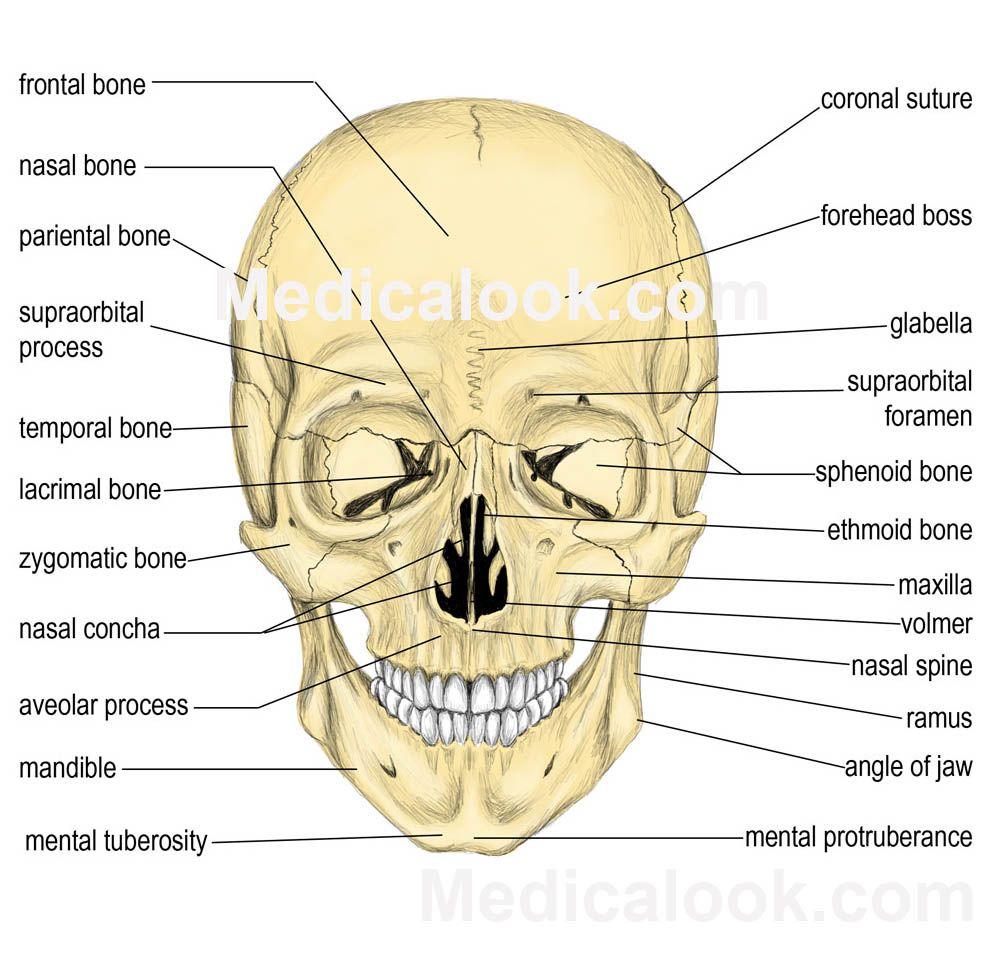 bones | Facial bones - Medicalook Human Anatomy organs | Studying to ...