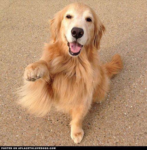 What S Your Name Golden Retriever Retriever Dogs