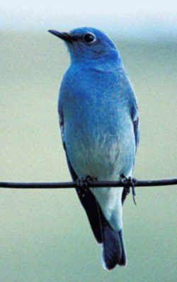 Nevada State Bird Mountain Bluebird Sialia Currucoides State Birds Blue Bird Bird