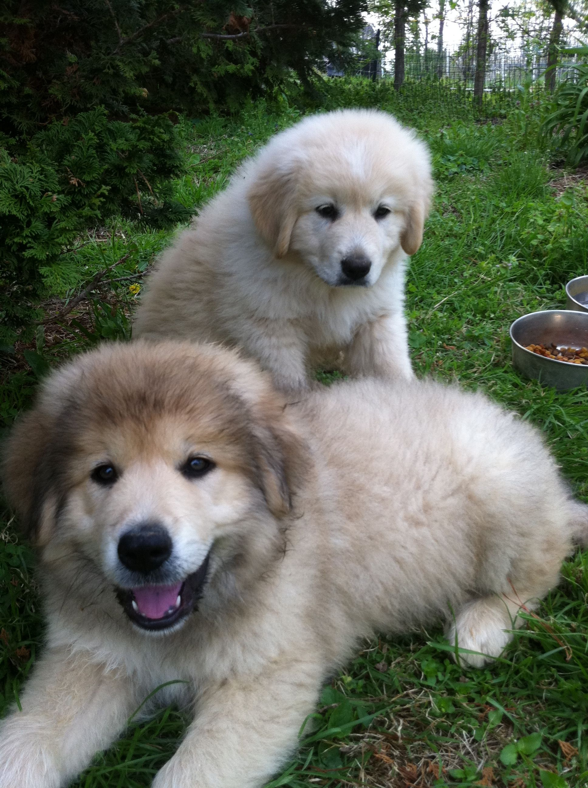 great pyrenees mix puppies for sale in ohio