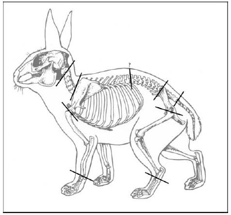 Jackrabbit Skeleton For Study