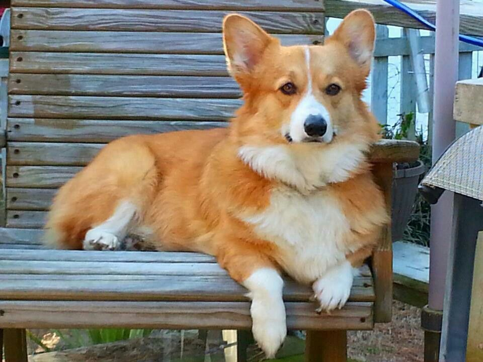 Pin By Helppuppy On Naughty Puppies Pembroke Welsh Corgi Corgi
