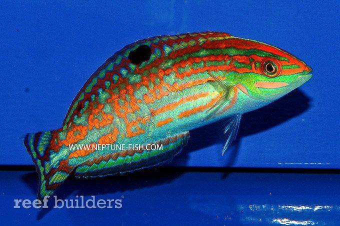 Christmas Wrasse - Christmas Wrasse Salt Water Fish Pinterest Salt Water Fish