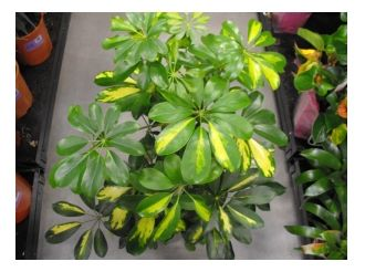 Low Light Outdoor Plants Umbrella Plant  Shefflera Actinophylla  Low Light Alternative To