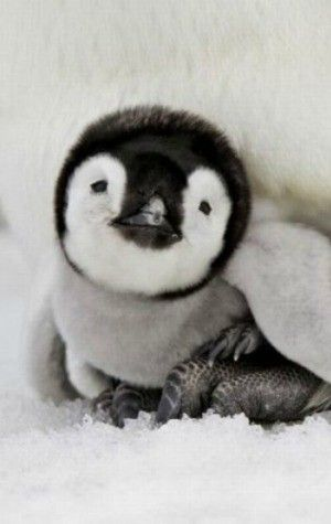 Penguin Has Happy Feet He Might Not Be Able To Tap In Real Life But This Is Just As Cute His Cartoon Counterpart