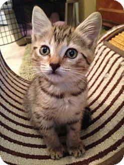 Smyrna, GA - Domestic Shorthair. Meet Mello a Kitten for Adoption.