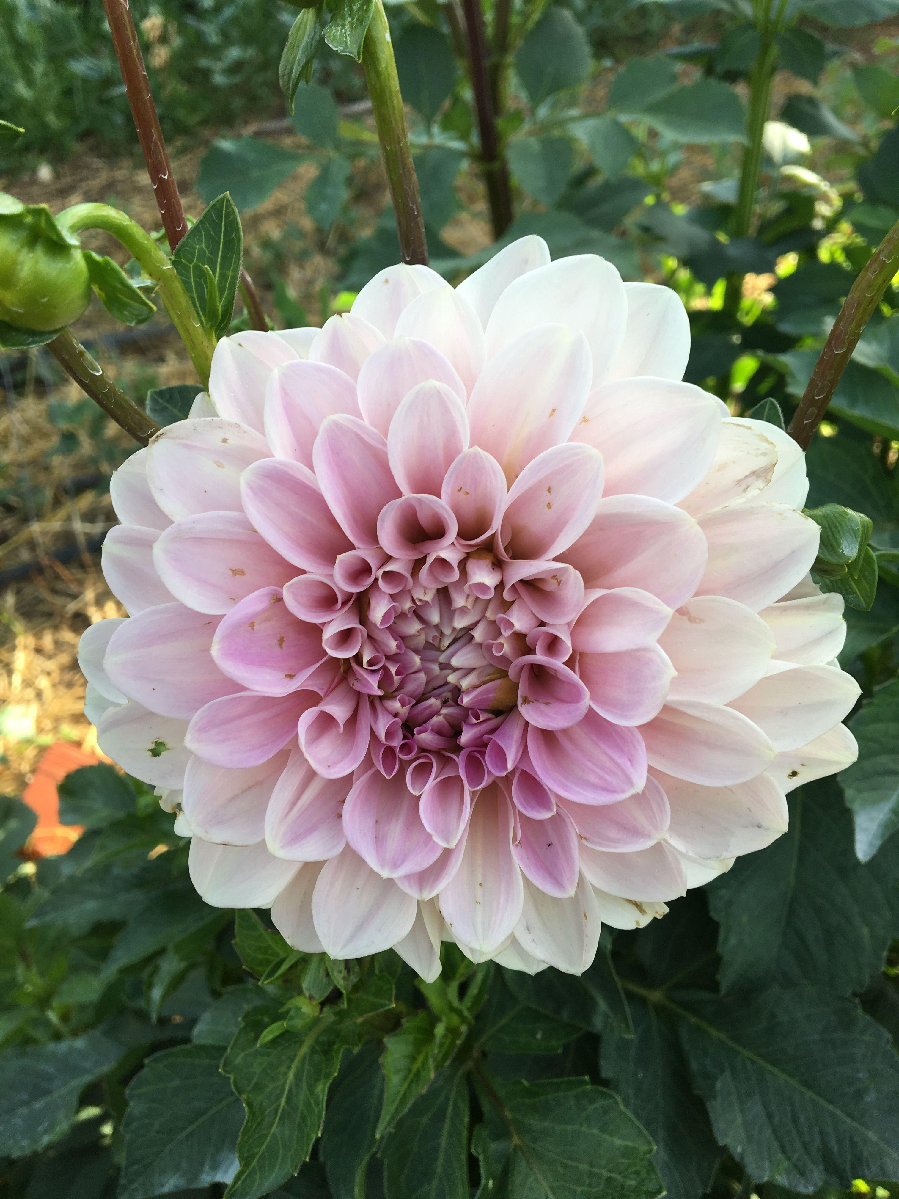 Sweet Natalie 6 8 Blooms Flower Farm September Flowers Dahlia