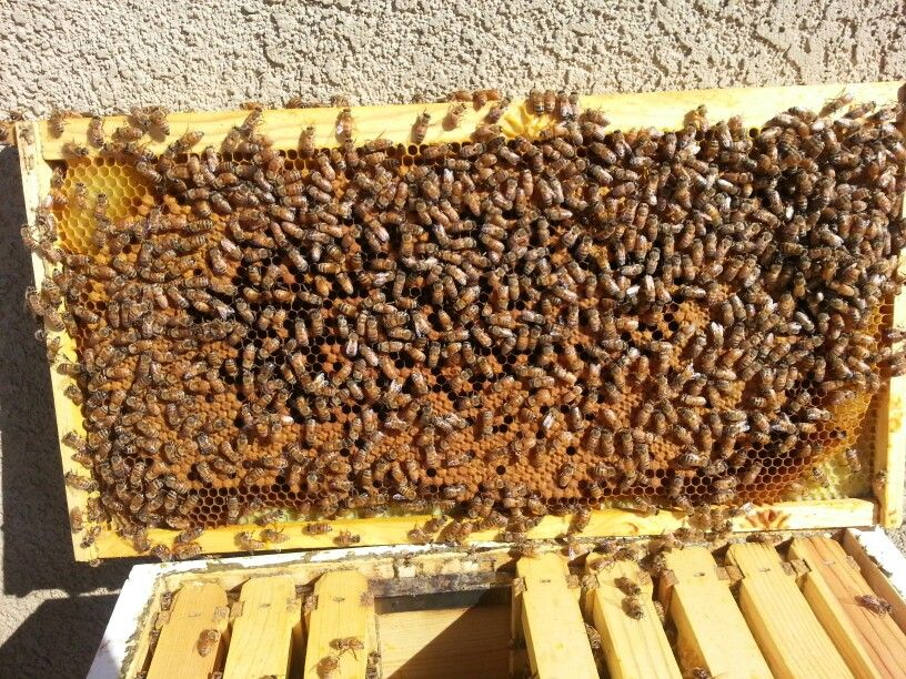 Brood cells in my backyard bee hive