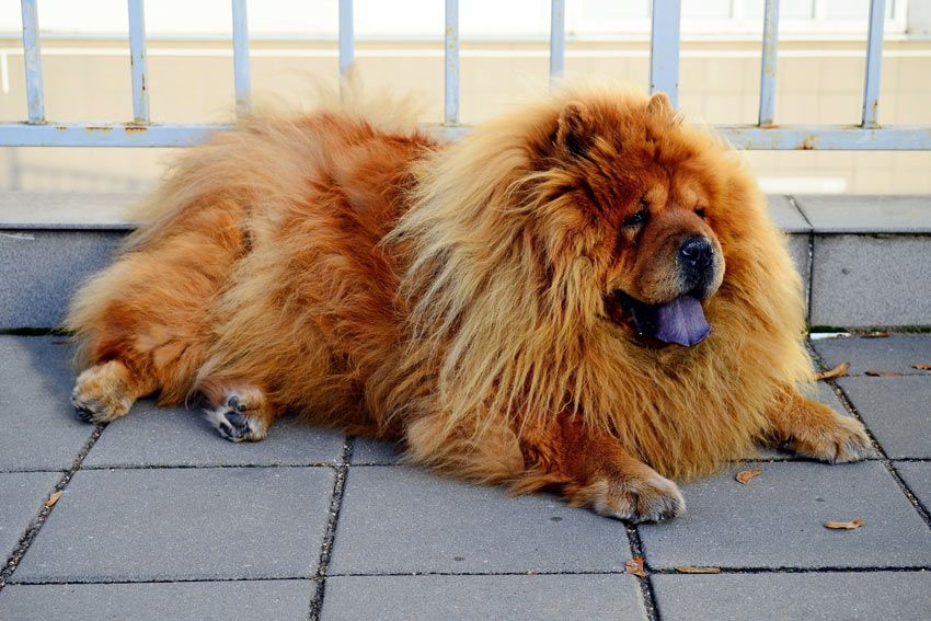 23 Full Grown Chow Chow Size Comparison In 2020 Unusual Dog Breeds