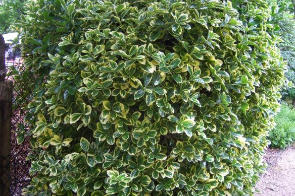 Euonymus Onica Evergreen Zone 5 Height 10 15 Feet Width Comes In Solid Green Foliage And Variegated Forms Yellow