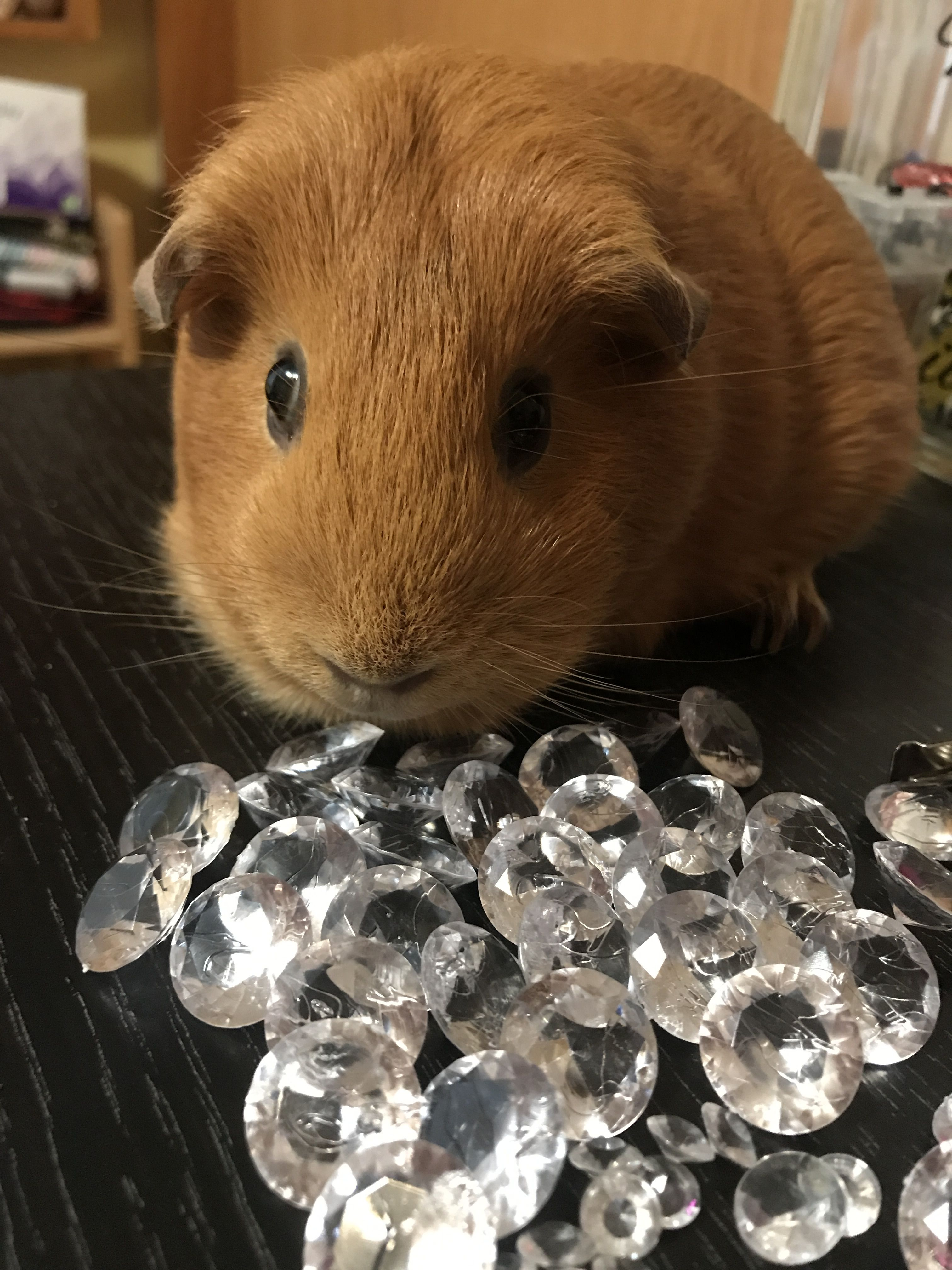 Pin by Vera on My cute cavies pumpkin and Thor in 2020