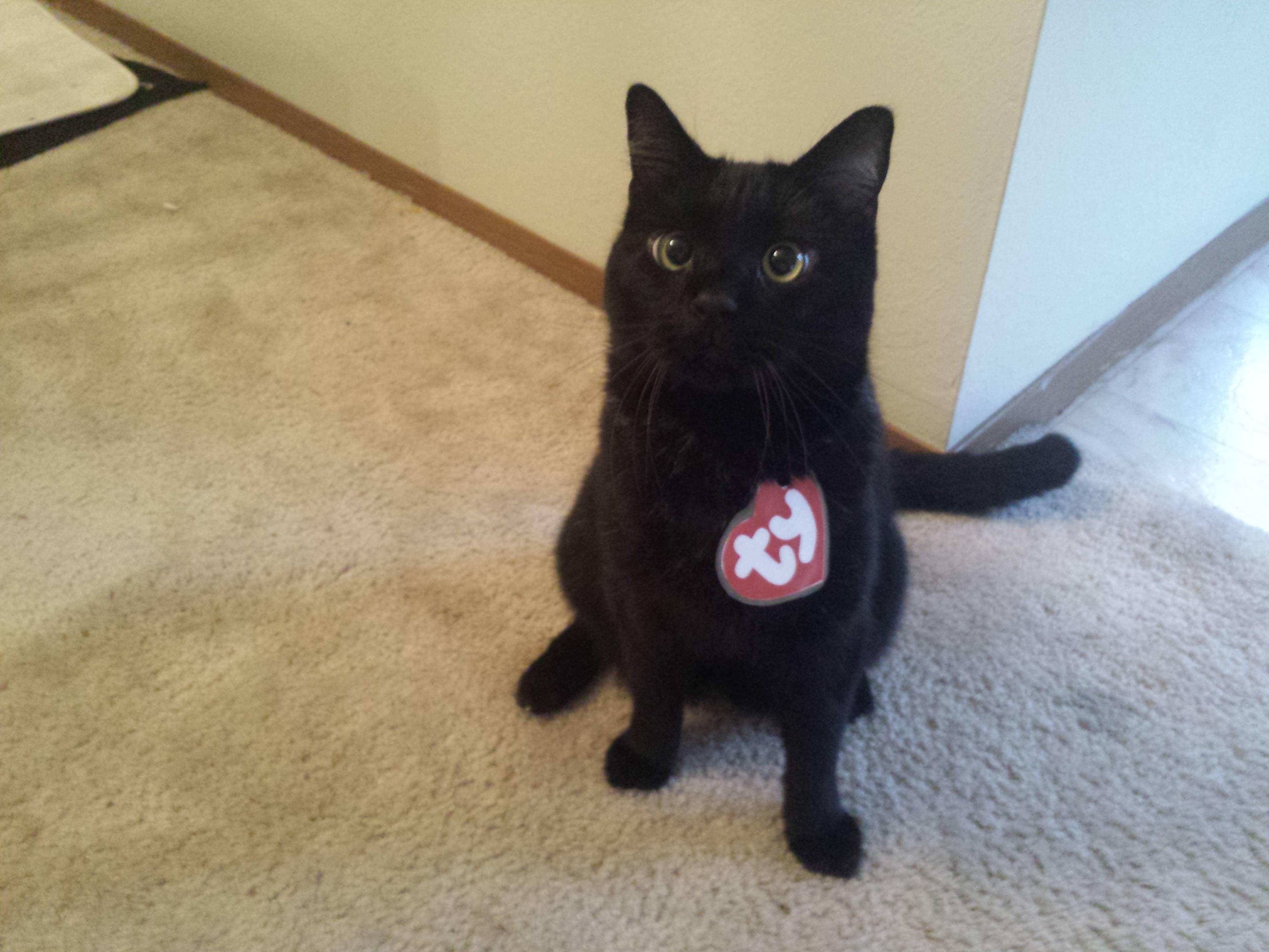 just trying out his new costume imgur cat halloween costumespet costumesbeanie baby - Baby Cat Halloween Costume