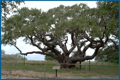 Big tree lamar tx tree hugger pinterest big tree lamar tx sciox Choice Image