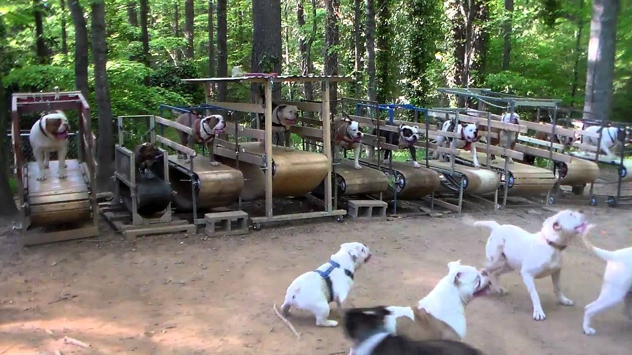 Ten Bulldogs On Ten Treadmills Dog Treadmill Dogs Outside Dogs