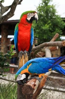 Large Mccaw Parrot Macaw Macaw Parrot