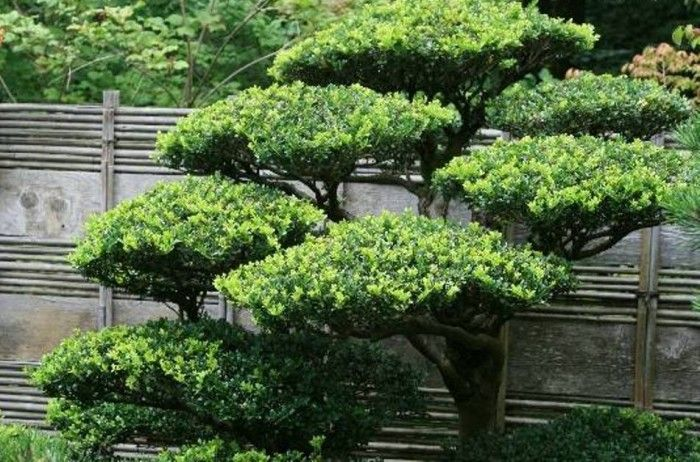 The variety of japanese garden plants japanse tuin for Japanese garden bushes