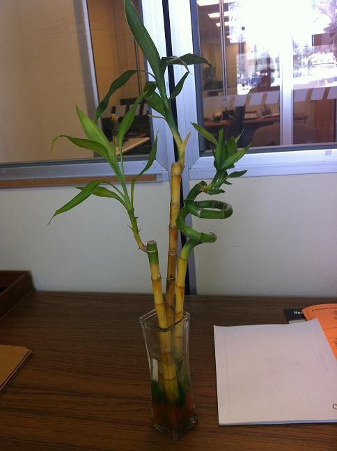 Your Top Questions About Lucky Bamboo Care Answered Lucky Bamboo