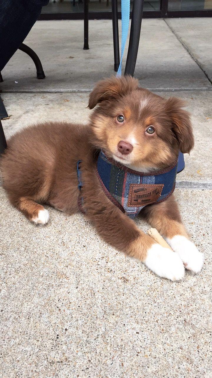 Mini Australian Shepherd Doggies >> Aussies ️ Mini