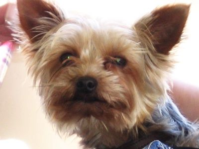 Eye Discharge From Yorkies Yorkie Puppy Yorkshire Terrier