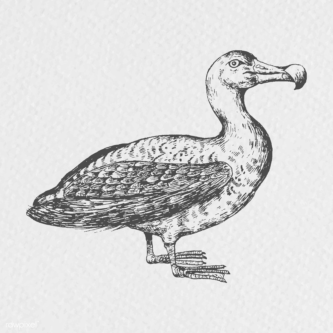 Download premium vector of Hand drawn albatross bird