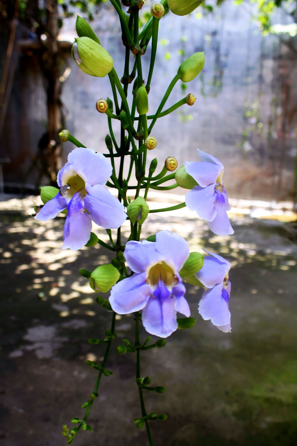 Thunbergia Grandiflora Wikipedia Blue Flower Names Types Of Blue Flowers Flowers Names And Pictures