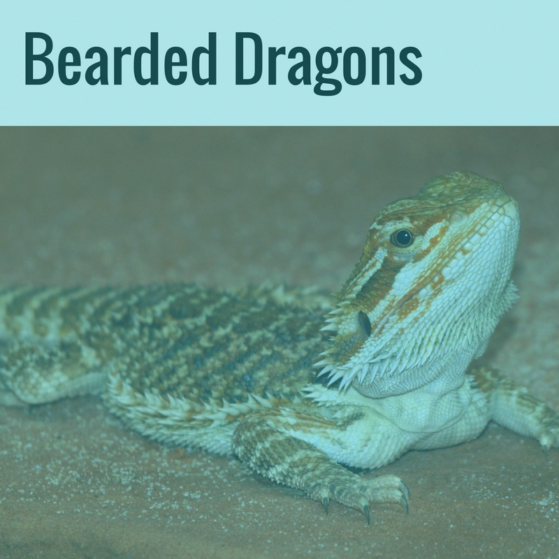 Adorable Bearded Dragons. Care, Handling, Reptile Leashes