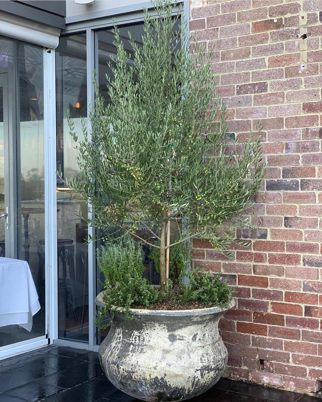 Olive Greens Pastel Succulents Bring Us The Mediteranian Feels In The Outdoor Eating Area At The Award Winning C Potted Olive Tree Potted Trees Garden Trees