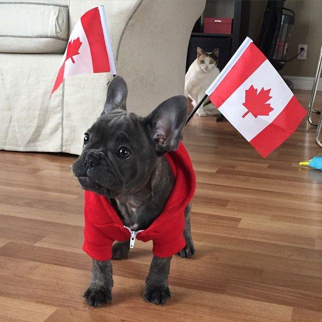French Canadian French Bulldog Puppy French Bulldog Puppies