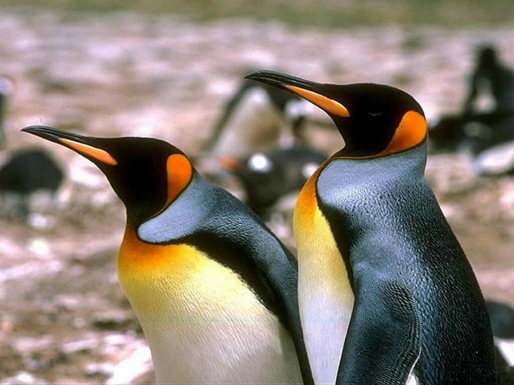 Pingouin Fond D Ecran Oiseaux Oiseaux Pingouin