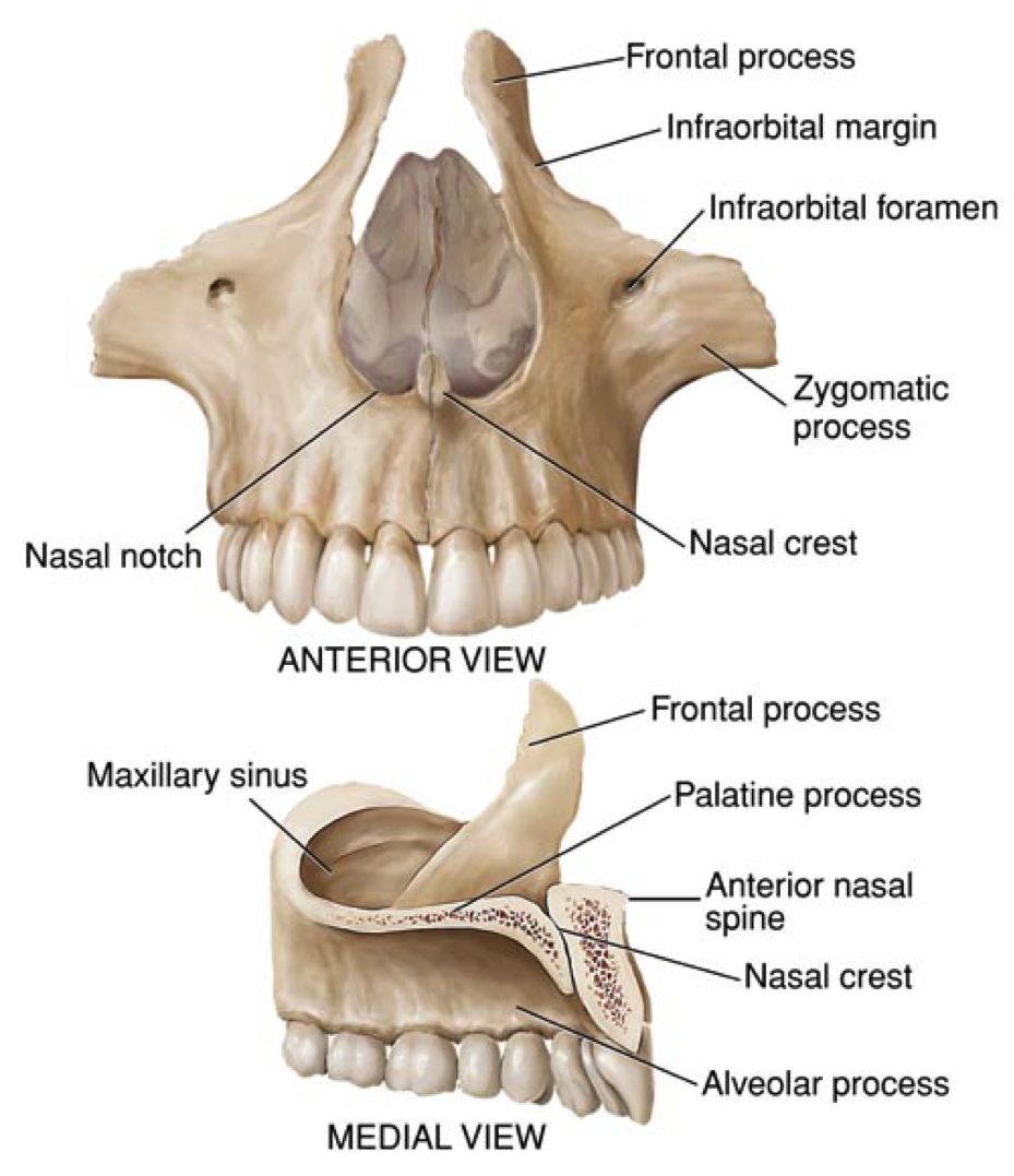 medialview of the maxilla - Google Search | Anatomy and Physiology ...