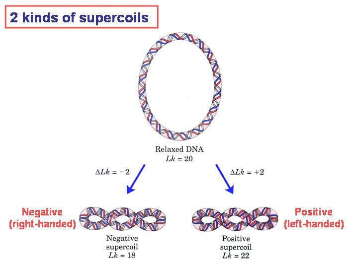 Discuss in Detail the Cell Cycle, Mitosis and Meiosis Essay
