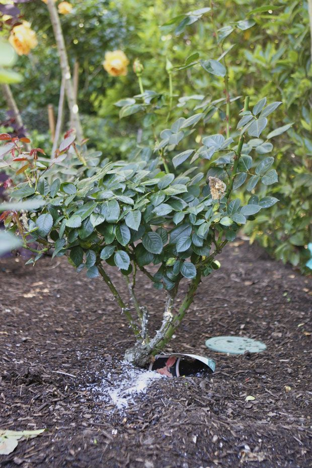 Epsom Salt For Rose Bushes