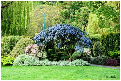 I like trimming shrubs into trees and this one provides good ideas for balance.  I borrowed from a blog page. lilac by curtanddiane, via Flickr
