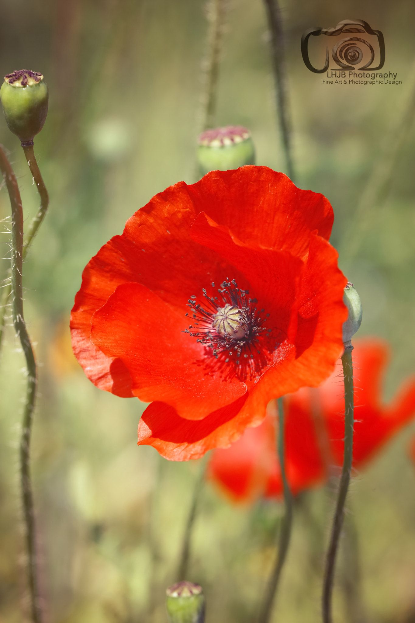 Just A Poppy A Bright Red Poppy Blooming By Lhjb Photography