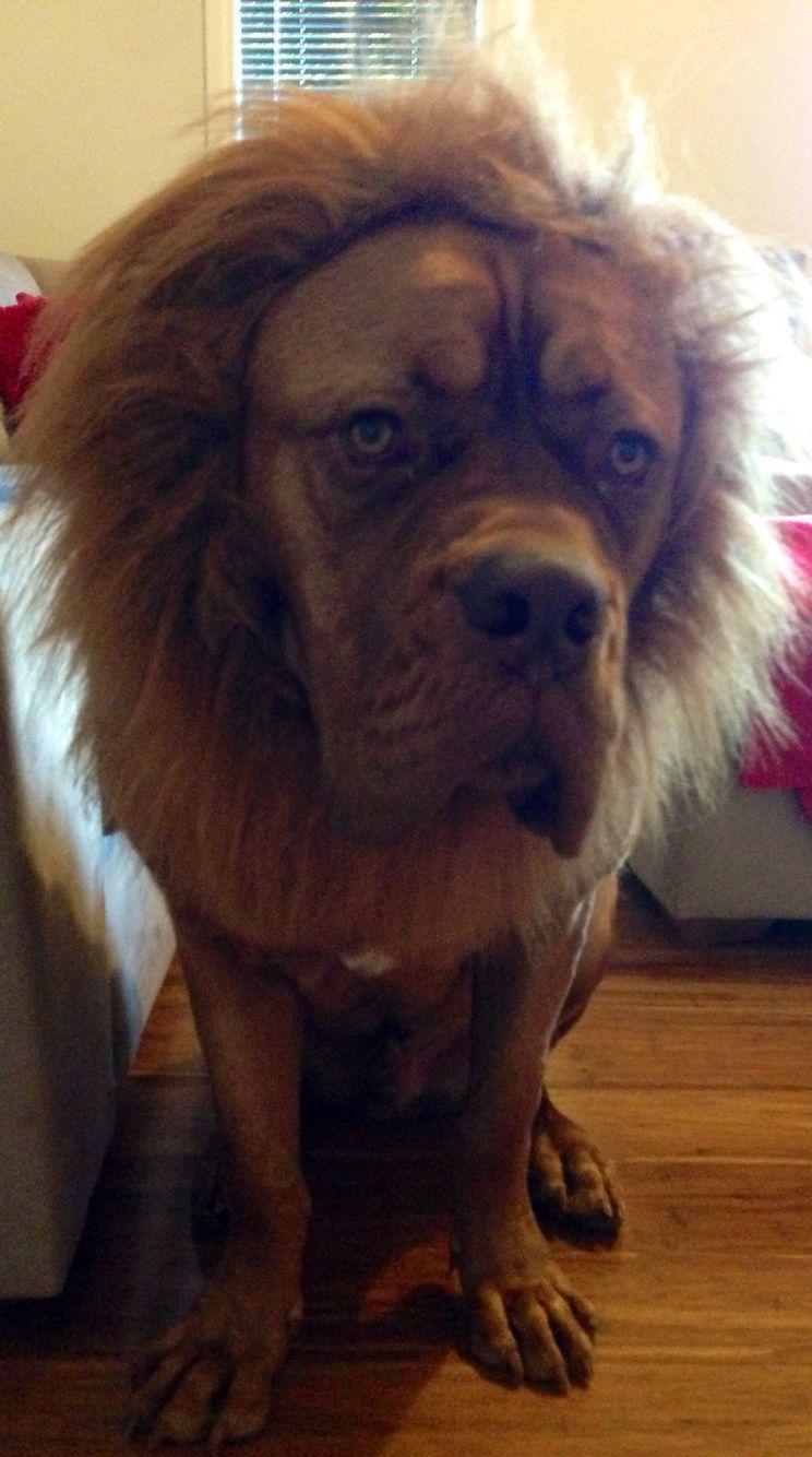 Dog or Lion?