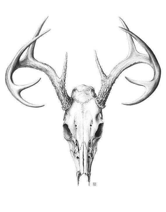 Deer Skull Large Scientific Illustration Etsy Deer Skull Tattoos Deer Skull Drawing Bull Skull Tattoos