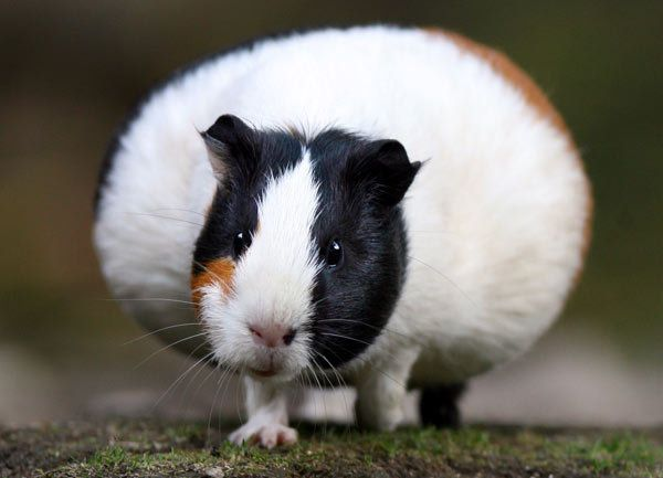 Pin On Sweet Guinea Pigs