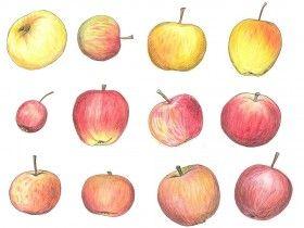 Omenakalenteri esittelee perinteisiä, suomalaisia omenalajikkeita.