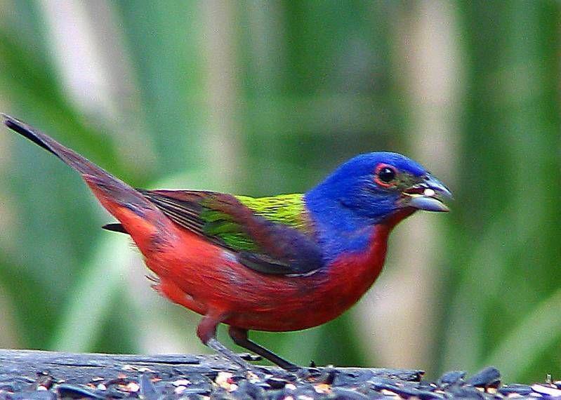 Oiseaux petits exotiques diamants des iles du pacifique for Oiseau couleur