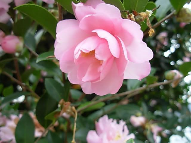 He Looked For The Most Appropriate Floral Offering And Found One That Looked Like Her The Camellia Sasanqua Double Impatiens Plants Garden Helpers