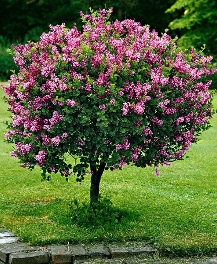 Small Trees For Borders: Dwarf Standard Lilac 'Palibin' Tree (Syringa Meyeri