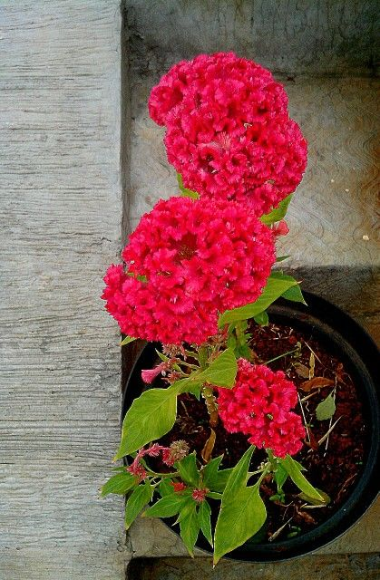 celosia cristata l beautiful flowers cat safe plants flowers