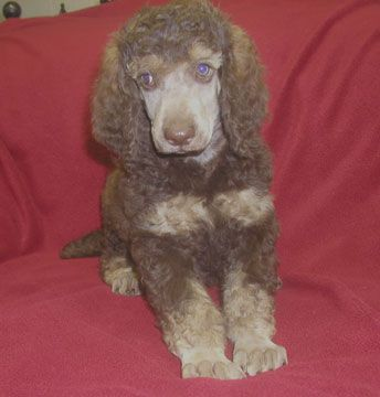 Standard Poodle Puppies For Sale Breeder South Of Staples Mn 218