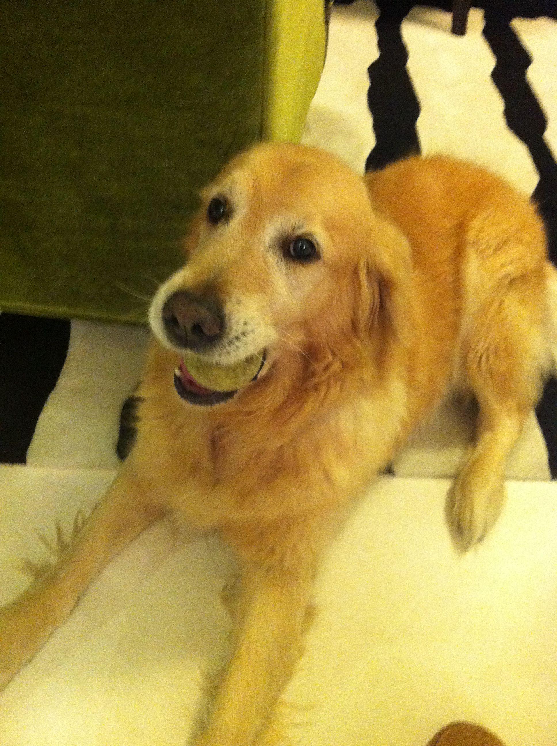 Doe Golden Retriever Pawshake Hong Kong Dogs Animals Hong Kong